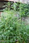 Tomato20060701